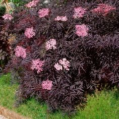 Duft-Holunder Black Lace® pode ser adquirido online na loja Gärtner Pötschke - Garten - Paisagismo Gnome Garden, Garden Trees, Garden Pots, Landscaping Around Trees, Landscaping Plants, Elderflower Ideas, Sambucus Nigra Black Lace, Le Baobab, Baumgarten