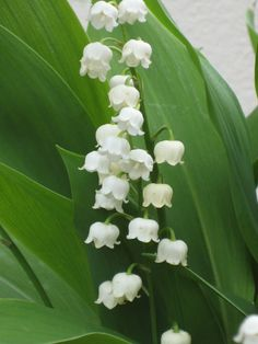 Lily of the Valley -