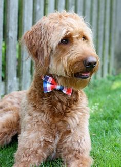 Dog Collar with Bowtie  Patriotic for Ducky