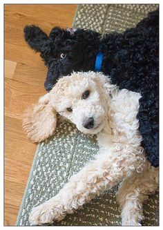 Amazing hand crafted jewellery and accessories available for poodle moms and poodle dads at PawsPassion. Represent your poodle puppy with our amazing merchandise! I Love Dogs, Cute Dogs, Poodle Cuts, Poodle Grooming, Dog Grooming, Training Your Puppy, Training Dogs, Dogs And Puppies, Poodle Puppies