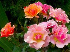 jazz роза - Поиск в Google