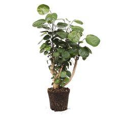 Polyscias Scutellaria
