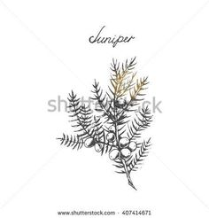 Vector branch of Juniper with berries. Hand drawn herbal illustration in sketch style. Juniper is a medical and food herbal ingredient.