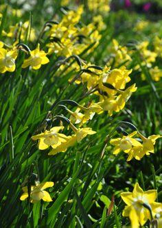 Lemon and white Narcissus