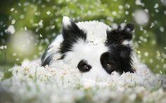 Descargar fondos de pantalla Border Collie, Cachorro, perro, animales lindos, verde hierba