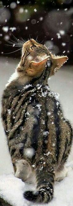Kittens tabby cats for sale I Love Cats, Crazy Cats, Cool Cats, Animals And Pets, Baby Animals, Cute Animals, Animals In Snow, Kittens Cutest, Cats And Kittens