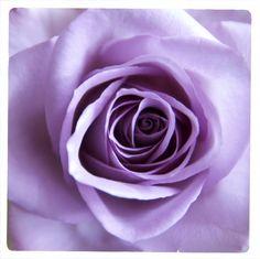 Rose by Claudia Pelzer ©