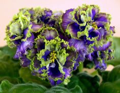 African violet - Saintpaulia - Vodianoi - plant - Russian Variety