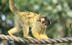 Miniscule Monkey Born At London Zoo  ZSL London Zoo's newest and tiniest arrival has been spotted snoozing in the summer heatwave.    The bl...
