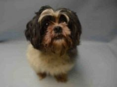 SAFE - 08/31/15 - STARR - #A1049373 - Urgent Brooklyn - SPAYED FEMALE WHITE/BLACK SHIH TZU MIX, 5 Yrs - OWNER SUR - EVALUATE, HOLD FOR ID Reason PERS PROB - Intake Date 08/27/15 Due Out 08/27/15