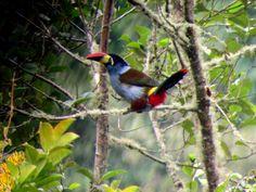 Tucan andino en la selva de Cuispes a 1Hora de Chachapoyas| La Posada de Cuispes