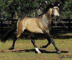 Show Horse Gallery - Venon Imperial