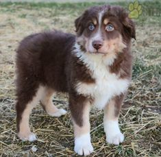 #AustralianShepherd #Charming #PinterestPuppies #PuppiesOfPinterest #Puppy #Puppies #Pups #Pup #Funloving #Sweet #PuppyLove #Cute #Cuddly #Adorable #ForTheLoveOfADog #MansBestFriend #Animals #Dog #Pet #Pets #ChildrenFriendly #PuppyandChildren #ChildandPuppy #LancasterPuppies www.LancasterPuppies.com Australian Shepherd Puppies, Lancaster Puppies, Cute Animals, Animals Dog, Puppies For Sale, Mans Best Friend, Puppy Love, Husky, Corgi
