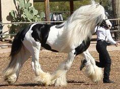 DJ Lenny's Horse, Gypsy Vanner Horse stallion