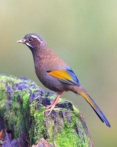 White-whiskered Laughingthrush (Trochalopteron morrisonianum). Endemic to the island of Taiwan. photo: Lawrence Neo.