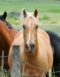 Palomino Horse Photography, golden cream horse photo portrait, equine art, rustic western decor, 8x10 animal print, Howdy. .