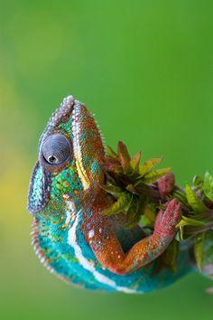 A rainbow chameleon!