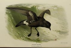 Stormy Petrel - Coloured figures of the birds of the British Islands / issued by Lord Lilford. A Thorburn Zoo Art, Bird Prints, Bird Art, Natural History, Whale, British, Lord, Islands, Painting