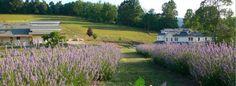 Beliveau Estate Winery in Blacksburg, VA (hosts the annual Lavender festival every June).