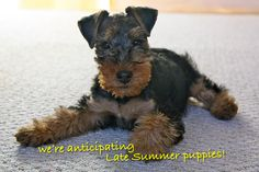 Welsh Terrier Puppies; Shaireabs-Bayleigh Welsh Terriers