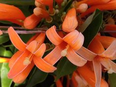 Botanical Name: Pyrostegia venusta or ignea  Common Name: Florida Flame Vine, Orange Trumpet Creeper, Golden Shower Vine, Hanging Fire Vine