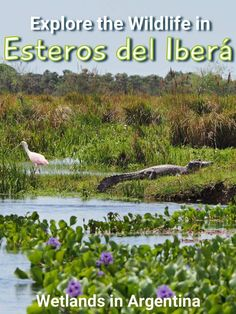 The Iberá Wetlands is one of the most important reserves of freshwater on earth. It supports an enormous variety of animal, bird, aquatic and plant life. Located in the Corrientes Province of Argentina, half way between Buenos Aires and Iguazu Falls.