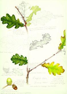 Lizzie Harper botanical illustration of oak in sketchbook style