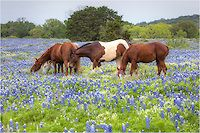 Along the backroads nearMarble Falls, Texas, in the Hill Country, I found a lovely field of bluebonnets. Enjoying this sea of blue were several beautiful horses. I mounted the telephoto lens on my camera and took several images of these regal creatures as they grazed their way across the pasture.