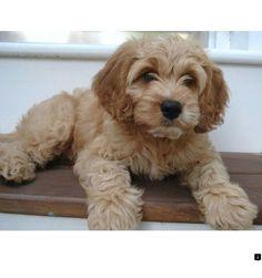 F1b Cocakpoodle (father was miniature poodle so some pups
