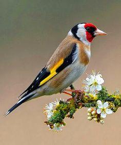 "European Goldfinch or Goldfinch (Carduelis carduelis).          (""Google+."")"