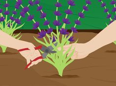 How to Grow Lavender. Easy to grow and easy to appreciate, lavender (Lavandula) is a welcome addition to any garden, with its beautiful flowers and wonderful aroma. All you need to grow and maintain this fragrant flowering herb is a. Herb Garden, Lawn And Garden, Vegetable Garden, Garden Plants, Growing Lavender, Growing Herbs, Lavender Plants, Lavander, Lavender Companion Plants