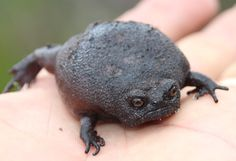 """frogs-are-awesome: """" vermilionthorn: """" This rainfrog's had enough of your bullshit. Source """" Black rain frog (Breviceps fuscus) """""""