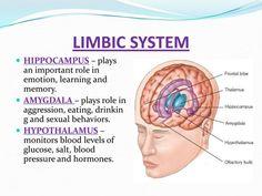 limbic system - Google Search: