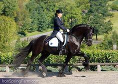Photo Gallery of Ulbert 390 Friesian Stallion