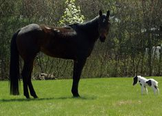Einstein, the world's smallest stallion, stands next to Playboy the horse in Barnstead, New Hampshire, USA. Standing only 20 inches tall, Einstein will mark his first birthday with a book, 'A Friend for Einstein'...  Picture: CHARLIE CANTRELL / BARCROFT MEDIA
