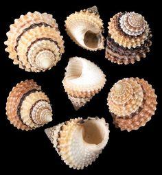Image result for exotic land snail shells