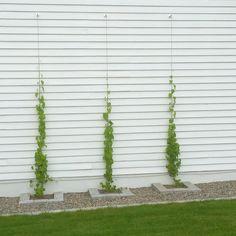 En trist fasad kan piffas upp med klättrande växter. Här har vi använt oss av stålvajer och pipranka. Enkelt och snyggt!#trädgårdsinteriör…