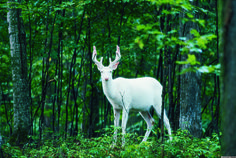 Albino deer, also known as white ghost deer, live a private life in the northern Wisconsin woods, according to PBS. Captured here by photographer Jeff Richter, the albino deer appears almost mythical. I have seen this deer in Iron County. Beautiful Creatures, Animals Beautiful, Cute Animals, Wild Animals, Fluffy Animals, Elf Rogue, Albino Deer, Oh Deer, Deer Hunting