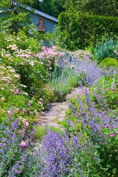 Catmint Nepeta Blue Wonder and Rosa The Fairy roses, flowers with pink roses, blue house, flagstone path through rambling loose cottage style garden plantings - Shade Gardening
