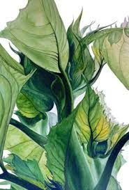 botanical drawing of sunflower - Google Search