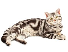 American Shorthair Cats Trivia