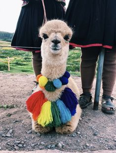 Really cute fashion lama with fluffy colorful pompoms. Cute Little Animals, Cute Funny Animals, Cute Puppies, Cute Dogs, Puppies Puppies, Retriever Puppies, Animal Pictures, Cute Pictures, Tier Fotos