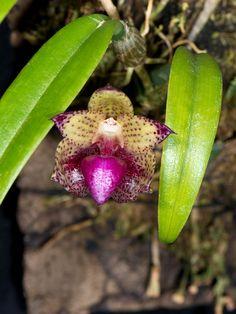 Orchid: Bulbophyllum signatum                                                                                                                                                                                 Mehr