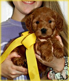 Check out our list of all upcoming Goldendoodle litters and Double Doodle litters below. Please fill out the puppy application and we will contact you. Toy Goldendoodle, Double Doodle, Breads, Doodles, Puppies, Bread Rolls, Cubs, Bread, Braided Pigtails