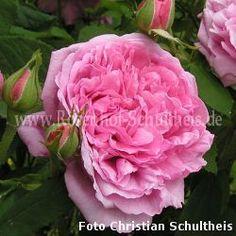 Reine des Centfeuilles - Rosa - Rosa_centifolia - Historische_Rosen - Container - Rosen von Schultheis
