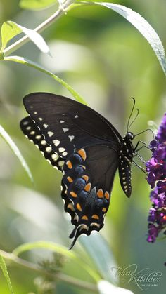 Spicebush Swallowtail - Planted the host spicebush.  Just waiting for the butterflies to find it.
