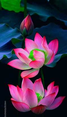 Lotus Flower Wallpaper, Lotus Flower Art, Wallpaper Nature Flowers, Beautiful Flowers Wallpapers, Beautiful Rose Flowers, Beautiful Nature Wallpaper, Exotic Flowers, Amazing Flowers, Lotus Flower Pictures