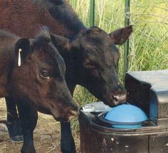 livestock waterers - cows using MiraFount device