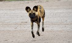I have to admit, it was a little scary when this #african #wild #dog started running straight in my direction!