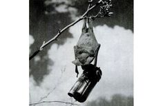 Yes America Really Did Design A Bomb Full Of Bats During WWII  Lazer Horse